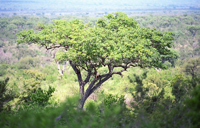 Impala-WILDLIFE-AFRICA-Kruger-2008-9794-16