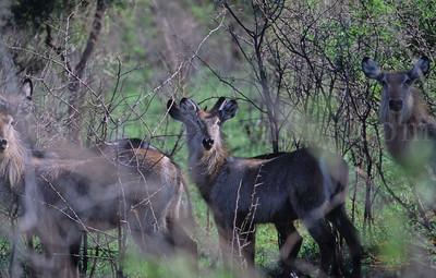 Kudus & Waterbucks - Kruger Park - South Africa - ©Rawlandry