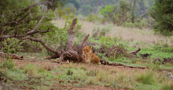 Bigfive - Lions - Kruger Park - South Africa - ©Rawlandry