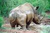 Bigfive - White Rhinos & Buffalos - Kruger Park - South Africa - ©Rawlandry