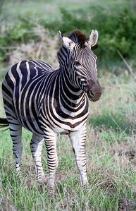 Zebras - Kruger Park - South Africa - ©Rawlandry