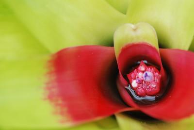bromeliad listick