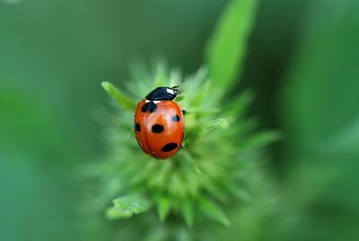 Ladybug pop