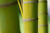 bamboo - 'ohe