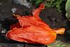 african tulip macro