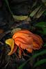african tulip spotlight