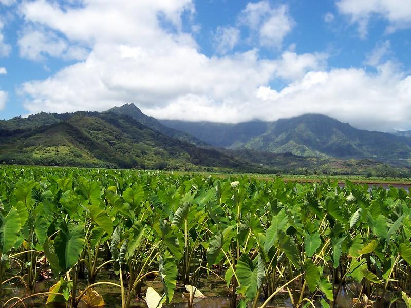 Kauai - Hanalei taro patches