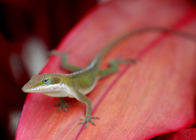 gecko on red ti leaf 3