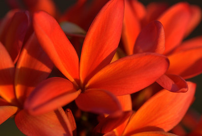 red plumerias 1