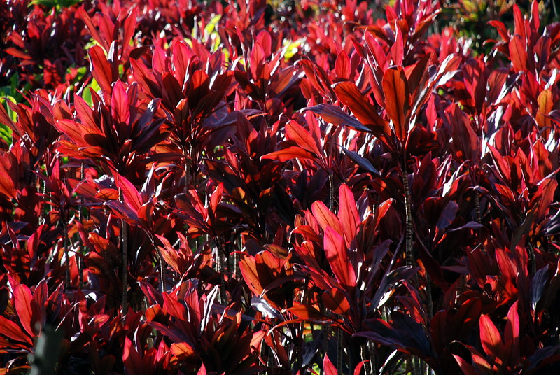 Red Ti Leaves