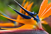Double Bird of Paradise