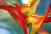 heliconia colors