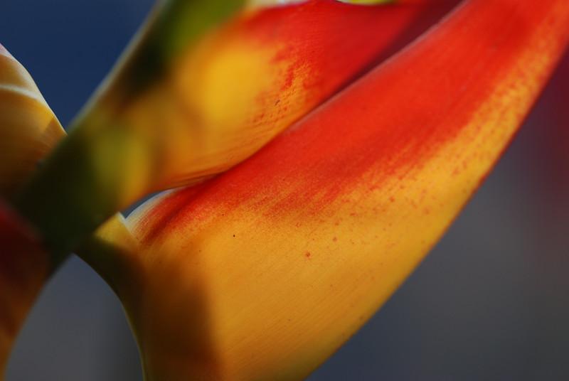 heliconia macro yellow and orange