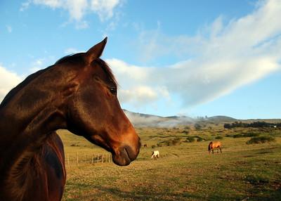 Upcountry Maui - horses along Thompson Road