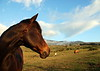 Upcountry Maui - horses along Thompson Road