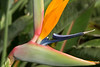 Bird of paradise profile