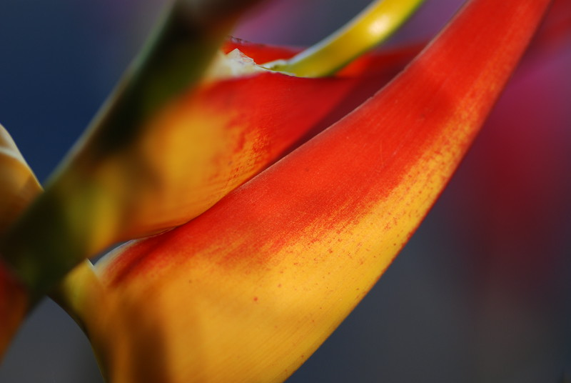 heliconia side