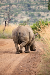 A Rhinoceros in an African Game Park