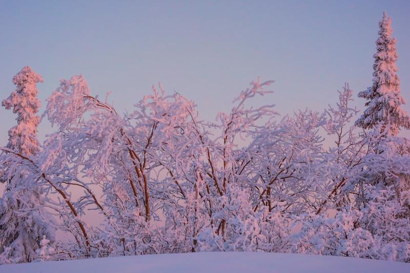 Framed In Tall Pink Guards -Ester Dome, Fairbanks, Alaska