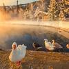 Ducks Admiring Sunrise On The Pond -Chena Hot Springs Resort, Outside Fairbanks, Alaska