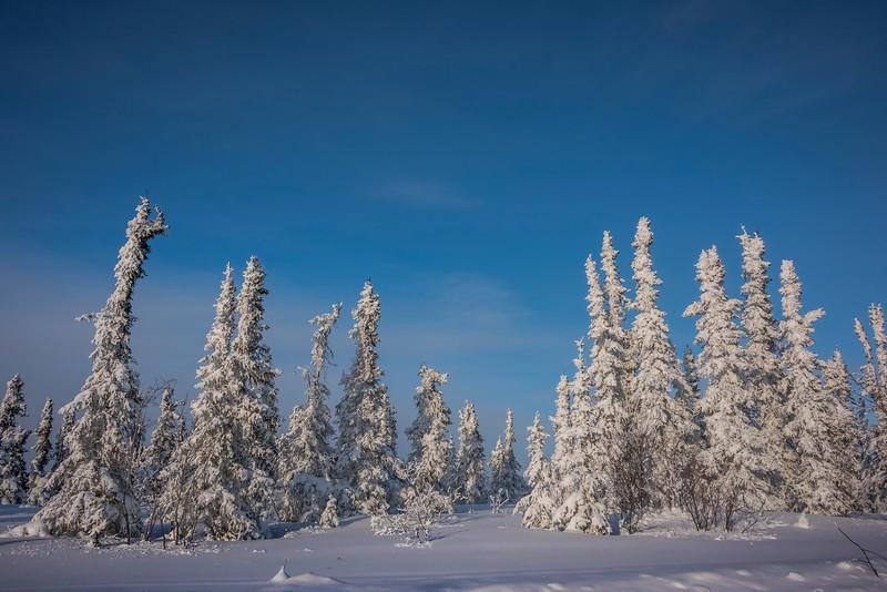 Snow Capped Trees -Fairbanks, Mt Aurora Skiland, Alaska