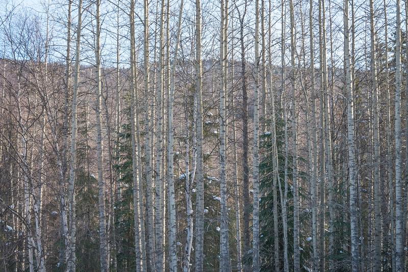 A Layered Forest Of Light -Chena Hot Springs Resort, Fairbanks, Alaska