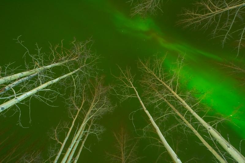 Birch Implosion -Chena Hot Springs Resort, Fairbanks, Alaska