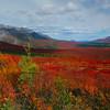 Color At Its Peak In Denali - Denali National Park, Alaska