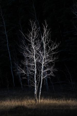 Silver Tree In Spotlight Locus Point, Rainbow Rim Trail, North Rim, Grand Canyon National Park, Arizona