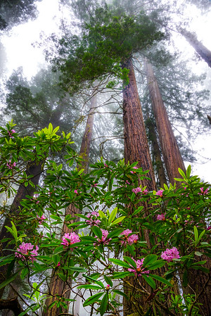 Hanging From The Branches - Redwoods, California