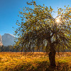 Sunburst Through Branches With Half Dome In Background - Lower Yosemite Valley, Yosemite National Park, CA