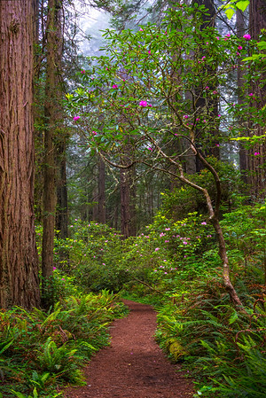 Framed with Rhodie Branches - Redwoods, California
