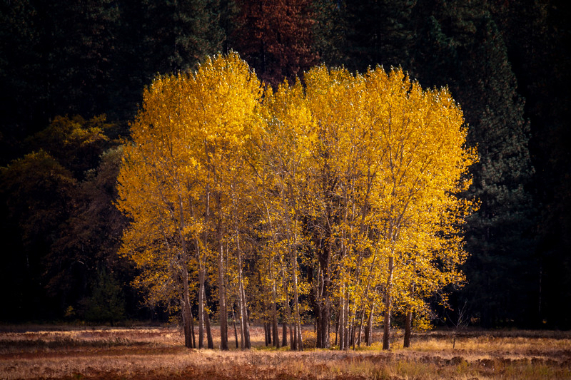 Aspen Grove In Ahwahnee Meadow - Lower Yosemite Valley, Yosemite National Park, California