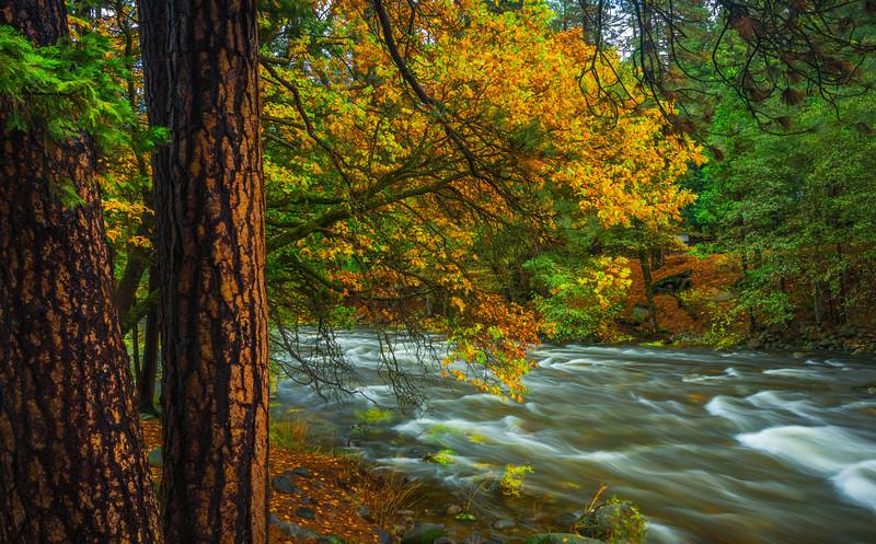 Fall Colors Alongside The River In Wawona - Yosemite National Park, Eastern Sierras, California