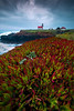 Ice Plant Heaven Leading Into Cabrillo Lighthouse - Cabrillo Lighthouse, Mendocino, California