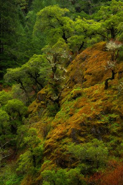 Redwoods Hanging Cliffside