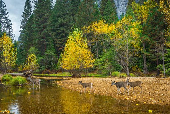Deer Crossing Along Merced River - Yosemite National Park, Eastern Sierras, California