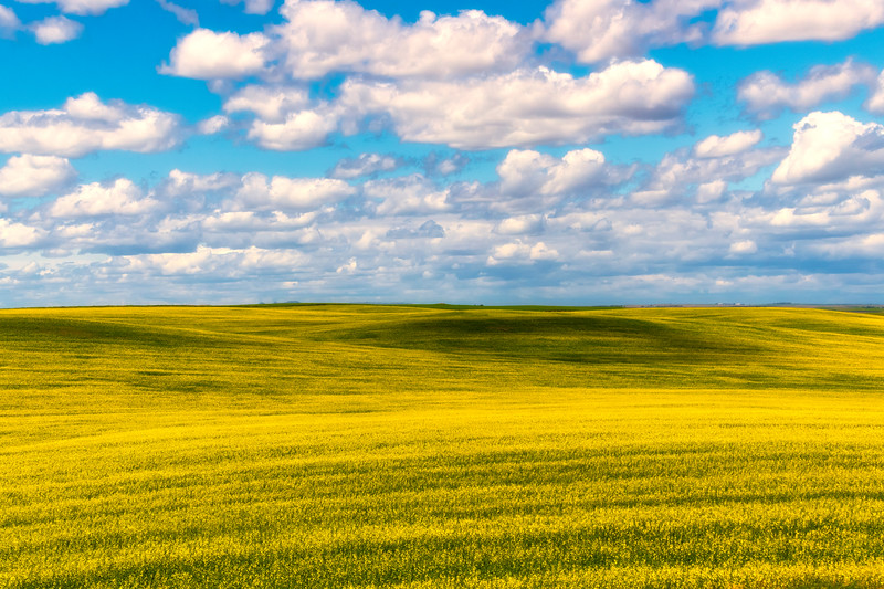 Canola Fields In The Badlands