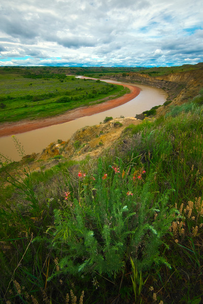 Spring Flowers Along The River Bend - Theodore Roosevelt National Park, North Dakota