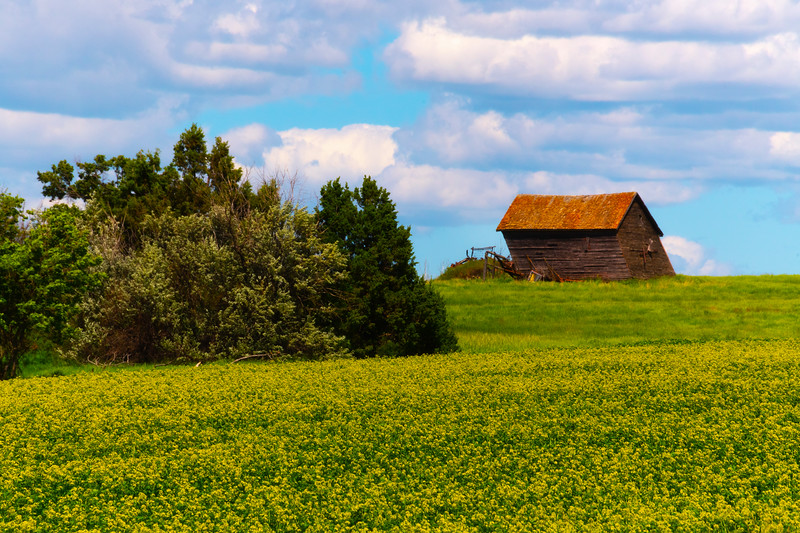 Falling Homestead In The Canola