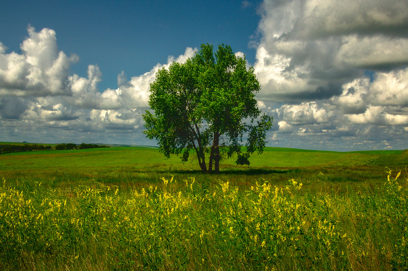 The Solo Tree Out In The Field -  Alexander, Little Missouri Grasslands, North Dakota