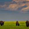 Bison Making Their Way Through The Badlands - Badlands National Park, South Dakota