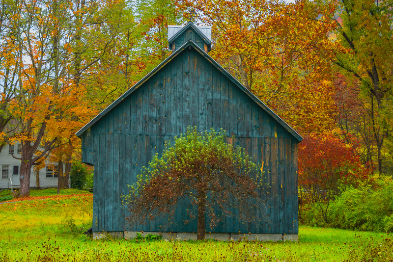 An Unique Looking Tree In Front Of The Barn - Vermont