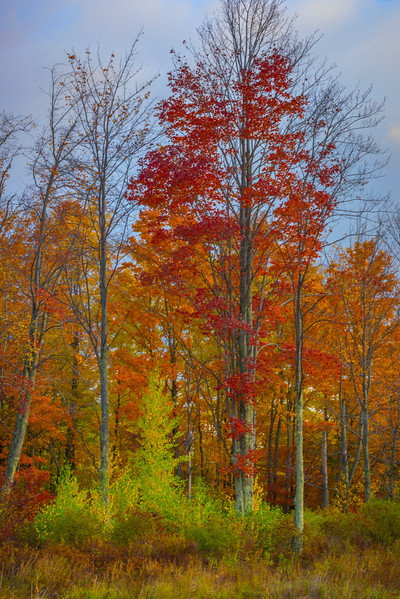 Grove On The Edge Of The Forest - Vermont