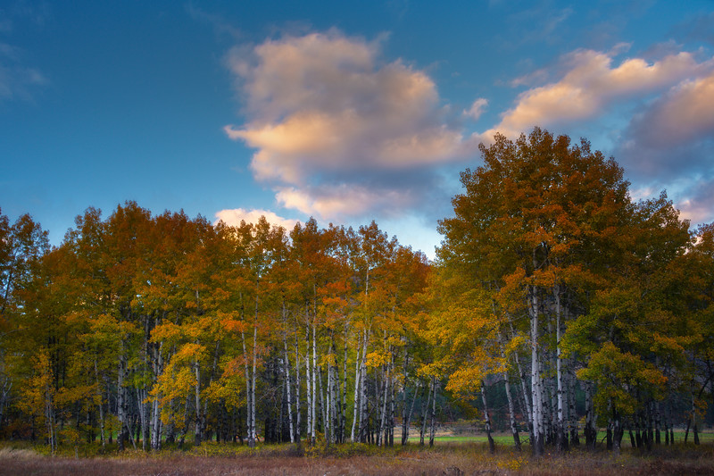 An Aspen Stand As Sun Begins To Descend - Methow Valley, Washington State