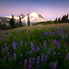Lupine Sunrise And Alpenglow - Mount Rainier National Park, WA