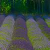 Textures Of Lavender - Pelindaba Lavender Farm, San Juan Islands, WA