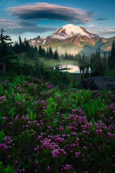 Pink Heather Above Tipsoo Lake - Mount Rainier National Park, WA