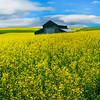 The Canola And Rapeseed Of The Palouse - The Palouse, Eastern Washington