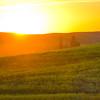Canola Backlight -The Palouse, Eastern Washington And Western Idaho